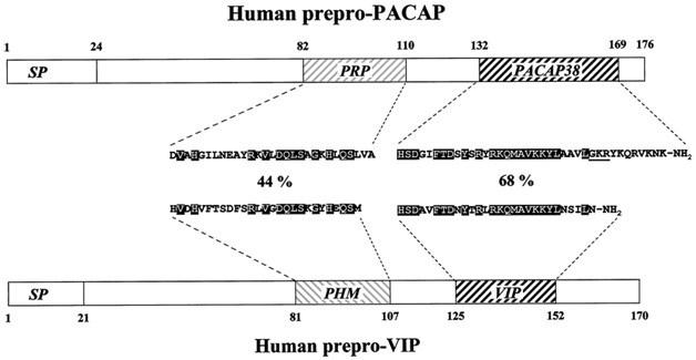 Human peptides
